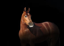 Horse head portrait. Isolated horse head portrait on black background Stock Photography