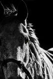 Horse Head Portrait. Horse Head Profile or Portrait black background Royalty Free Stock Photography