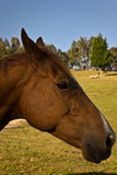 Horse head in profile Royalty Free Stock Photography