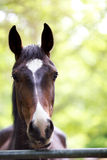 Horse head shot. A shot of a chestnut horse's head Royalty Free Stock Photography