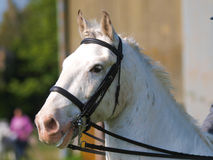 Horse Head Shot In Bridle Royalty Free Stock Photos