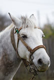 Horse head shot portrait. White with gray horse head shot portrait with a soft look. Photo taken in a cloudy day of october 2014 Stock Photo