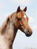 Horse Head Shot Stock Photos