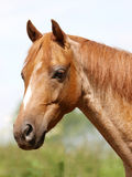Horse Head Shot Stock Photography