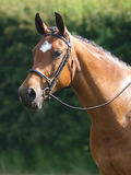 Horse Head Shot In Snaffle Bridle Stock Photo