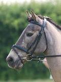 Horse Head Shot In Snaffle Bridle Royalty Free Stock Images
