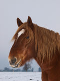 Horse Head Shot In The Snow Stock Photography