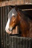 Horse head royalty free stock photography