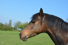 Horse head. Side view of horse head Stock Photo