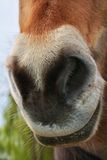 Horse head, snout Stock Photography
