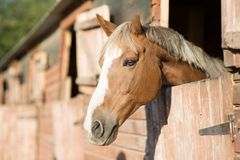 Horse head in a stall. Horse head in a farm stall royalty free stock image