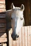 Horse head in a stall. Horse head in a farm stall royalty free stock photos