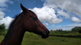 Horse Head. Horse starring down the volcano to the clouds covering the ocean view, captured by me in Pahoa, Hawaii Stock Photos