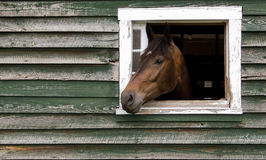 Horse Head Sticking Out Of Barn Royalty Free Stock Photography
