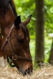 Horse Head Study Stock Image