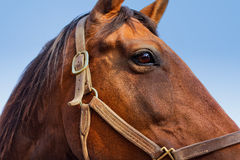 Close Up of a Horses Head Stock Photos