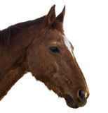 Horse Head on White Stock Image