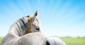 Horse header Royalty Free Stock Photography