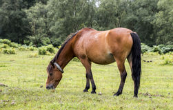 Horse grazing. A horse heading peacefully in the new forest, south East of England Royalty Free Stock Photos