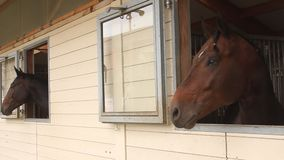 Horse heads. Looking on the window stock footage
