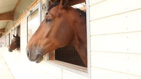 Horse heads. Looking on the window stock video footage