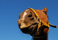 Horse headshot. A view of a horse from below Royalty Free Stock Photography