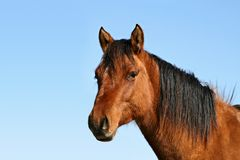 Horse Headshot. Headshot of a Dun Mare during Fall Stock Images