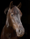 Horse Headshot Against Black Background Stock Photography