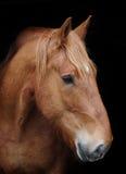 Horse Headshot Against Black Stock Photo