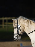 Horse Headshot in Bridle Stock Photography