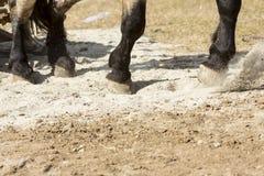Horse heavy pull tournament Stock Image