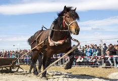 Horse heavy pull tournament. Horses and their owners participate in a heavy pull tournament. The animals has to pull a load of hundreds of kilograms on a 30 m Stock Photo