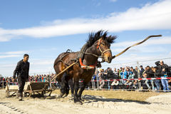 Horse heavy pull tournament leash Stock Images