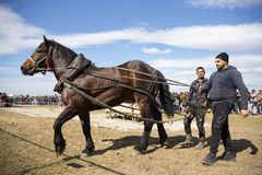 Horse heavy pull tournament stock image