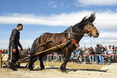 Horse heavy pull tournament Royalty Free Stock Image