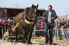 Horse heavy pull tournament Stock Photo