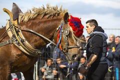 Horse heavy pull tournament Stock Photos