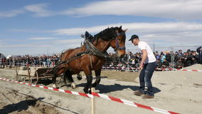 Horse heavy pull tournament stock video footage