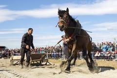 Horse heavy pull tournament Royalty Free Stock Photos