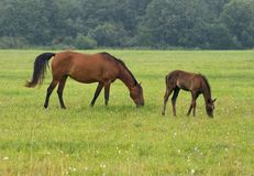 Horse with her foal Royalty Free Stock Image