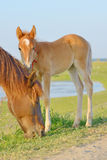 Horse and Her Foal Stock Photography