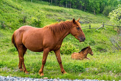 Horse and her foal in the meadow Royalty Free Stock Images