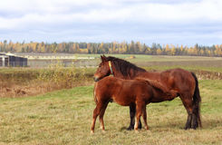 Horse with her  foal. Mom horse feeding her foal with  breast milk Stock Photography
