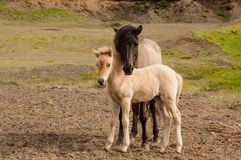 Horse and her little foal.  Royalty Free Stock Photos