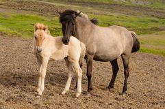 Horse and her little foal.  royalty free stock photography