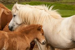 Horse and her little foal.  Stock Image