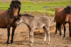 Horse and her little foal.  Royalty Free Stock Photo