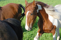 Horse in a Herd Stock Image