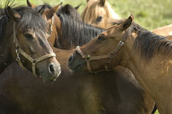 Horse herd. A group of horses on pasture area in Poland Stock Photos