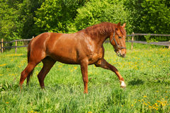 The horse in the herd Royalty Free Stock Photography